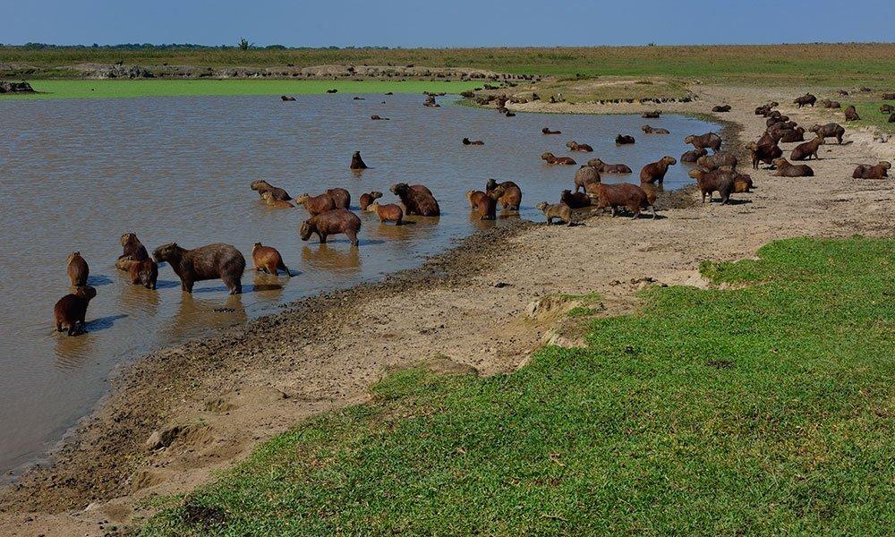 Colombia Llanos Orientales Capibaras